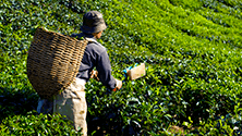 Where tea comes from