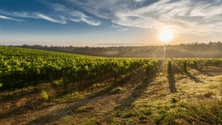 How climate affects wine varieties