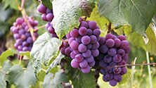 The grapes in champagne